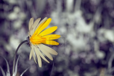 Photo for Solar Flower banishes sorrow from the monotony of everyday life - Royalty Free Image