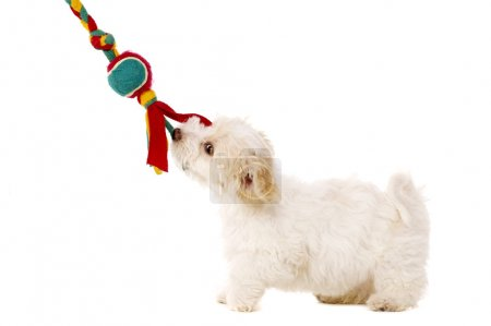 Puppy pulling toy isolated on a white background