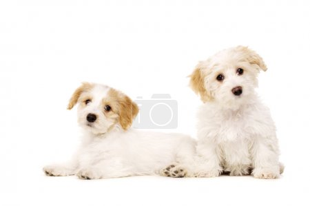 Two puppies isolated on a white background