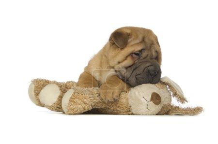Photo pour Petit chiot Shar-Pei mignon avec jouet isolé sur un fond blanc - image libre de droit