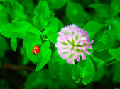 Lady bug and blossoming clover