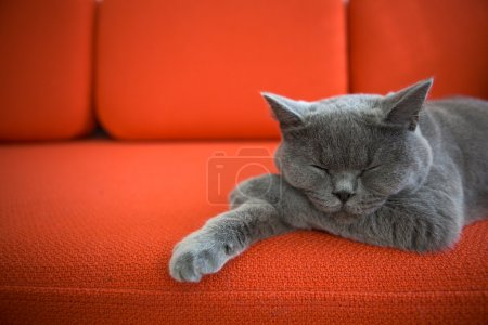 Photo for Grey cat sleeping on a couch. - Royalty Free Image