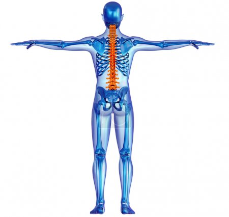Human body skeleton and pain in the spine