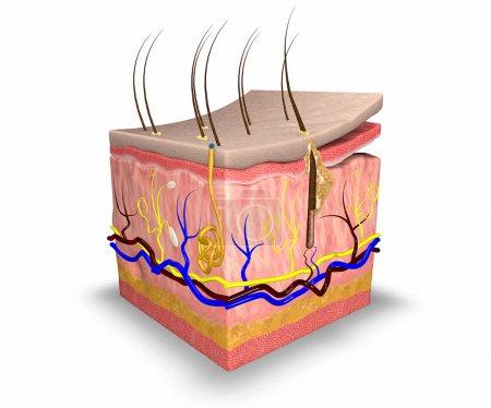 Photo pour Couches de la peau, se composent de deux couches : un épiderme superficiel fait de tissu épithélial, et un derme plus profond faite de tissu conjonctif. sous la peau est une couche de tissu adipeux, l'hypoderme - image libre de droit