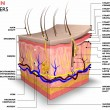 Skin layers, consist of two layers: a superficial ...