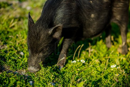 Photo for Little black boar - Royalty Free Image