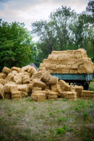 Haystack after wheat harvest