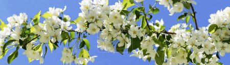 Apple-tree flowering. Panorama.