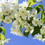Apple-tree flowering by big flowers against the bl...