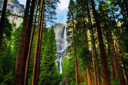 Photo pour Chutes d'eau d'Yosemite derrière séquoias dans le parc national d'yosemite, Californie - image libre de droit