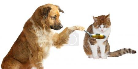 Photo pour Vétérinaire chien adorable patiemment essayer d'amadouer son ami malade le chat gingembre pour prendre son médicament de la cuillère qu'il tient isolé sur blanc - image libre de droit
