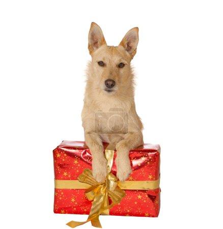 Dog with a Christmas gift