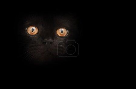 honey eyes of black cat over dark background