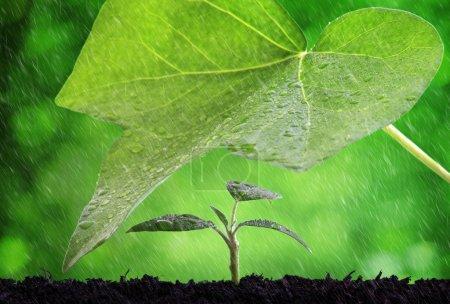 Photo pour Nouvelle protection de la vie et le concept de culture de pluie sur un semis - image libre de droit