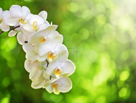 Photo for White Phalaenopsis Orchid or Moth Orchid against soft focus trees and sunlight - Royalty Free Image