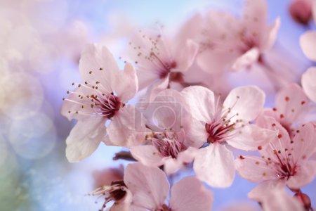 Photo pour Cerisier en pleine floraison, mise au point douce contre le concept de ciel bleu pour la saison du printemps - image libre de droit