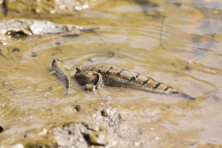 Amphibious fish
