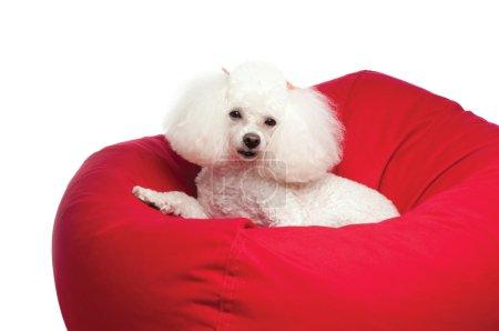 Adorable caniche de juguete blanco acurrucado en una silla de bolsa de frijol rojo .