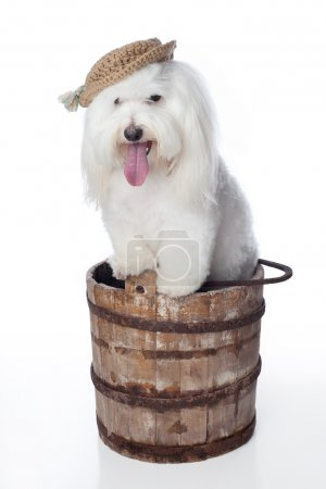 White Dog with Hat Posed in a Wooden Bucket