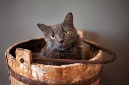 Photo pour Un chat nebelung gris se trouve dans un seau ancien, en bois, puit. le nebelung est une race rare, semblable à un bleu russe, sauf avec mi-longs, cheveux soyeux. tourné en studio sur fond gris. - image libre de droit