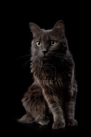 Photo pour Photo Studio d'un chat gris nebelung isolé sur fond noir. le nebelung est une race rare, semblable à un bleu russe, sauf avec une longueur moyenne, des cheveux soyeux. - image libre de droit