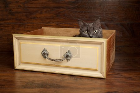 Photo pour Photo de studio d'un gris nebelung chat furtivement un tiroir vintage jaune. le nebelung est une race rare, semblable à un bleu russe, sauf avec une longueur moyenne, des cheveux soyeux. - image libre de droit