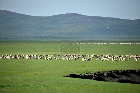 "Inner Mongolia Hulunbeier ""China's first Qushui"" mergel River, Golden Horde Mongol tribes grassland sheep, horses, cattle"