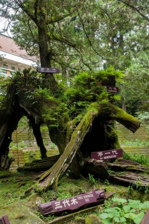 """Alishan, Chiayi City, Taiwan virgin forest in the """"three generations of wood."""""""