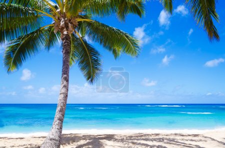 Coconut Palm tree on the sandy beach in Hawaii