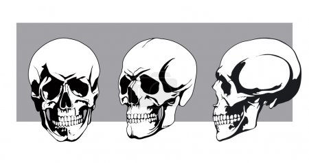 Illustration for Human skulls from different angles, front view, side view, view of three quarters - Royalty Free Image