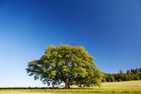 Oak tree in summer standing alone