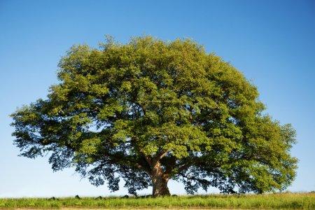 Big green oak tree in summer standing alone
