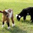 Two baby goats on a farm are outside grazing and e...