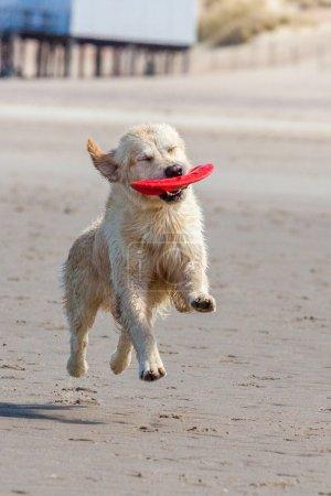 Golden Retriever at the beach