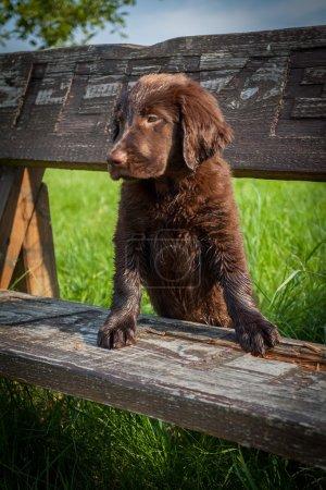 Flat-Coated Retriever Puppy