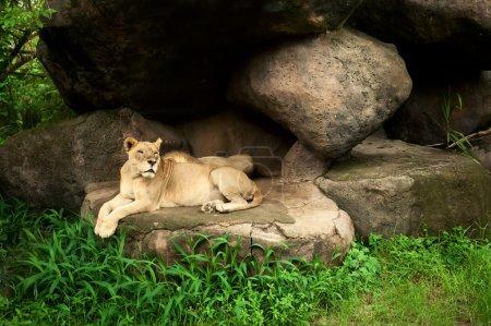 Photo pour Lionne et lion au repos - image libre de droit