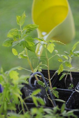 Photo pour Potager-Plant de tomate dans leur pot avant la mise en terre - image libre de droit