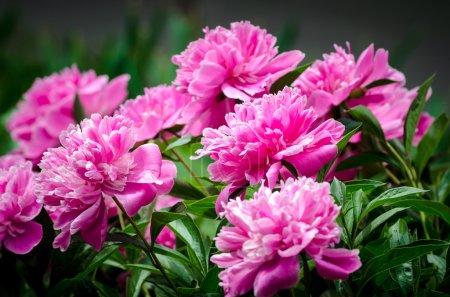Foto de The Pink peony - Imagen libre de derechos