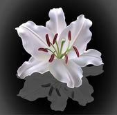 Bílá lilie na černém pozadí, vektorové ilustrace