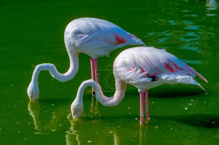 A Pair of Flamingoes