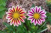 Gazánie sluneční květinou