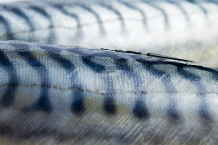 Detailed close up on two mackerel