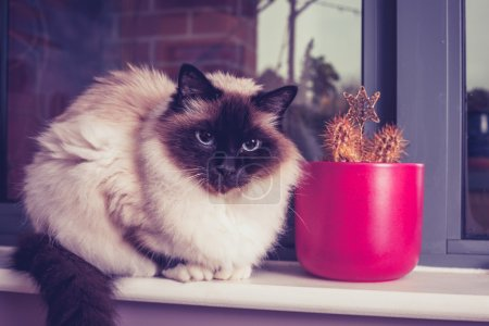 Birman cat sitting on window-sill with cactus