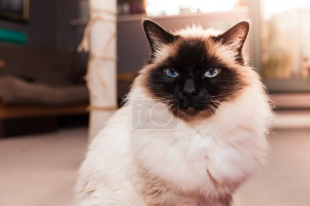 Birman cat at home on sunny day