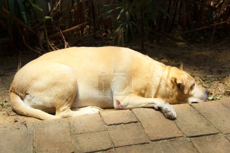 Fat labrador retriever 7 years old