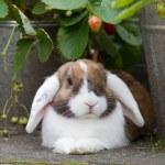 Dutch mini-lop rabbit between strawberries in a ga...