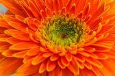 Velká oranžová gerbera