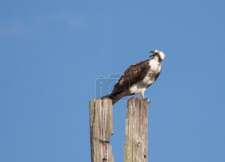 Osprey Giving Warning