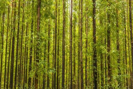 Photo pour Photo d'une forêt d'eucalyptus . - image libre de droit