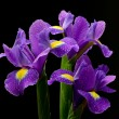 Постер, плакат: Wet irises against a black background